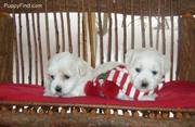 Coton DE Tulear Puppies as Christmass Gift