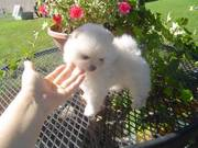 Teacup Pomeranian puppy for sale